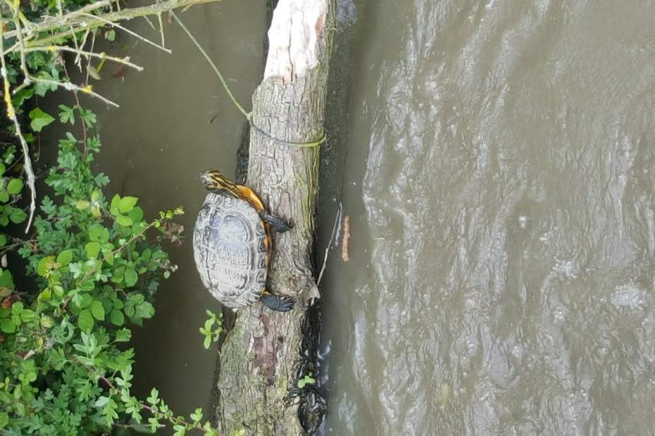 Turtles on the Ashby Canal