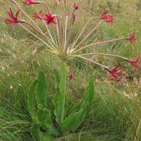 Threatened Plant Species - Brunsvigia undulata