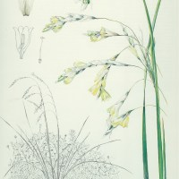 Threatened Plant Species - Dierama pallidum