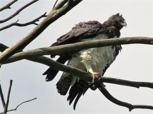 Marshal eagle 1