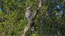 Crowned Eagle Pic 2