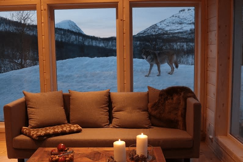 A night with wolves in Norway