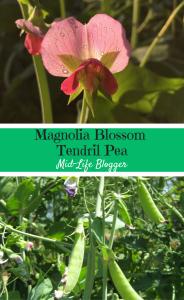 Magnolia Blossom Tendril Pea