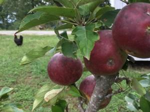 Simple Pleasures ~ Fruit Trees