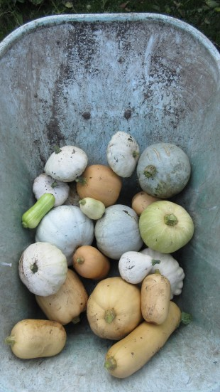 Small crop of squashes