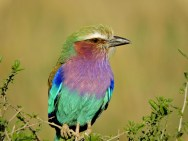 The gorgeous LILAC BREASTED ROLLER was waiting for us beside the road.