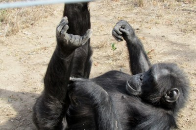 Back in the Ol Pejeta Conservancy, we were shown around a CHIMPANZEES sanctuary – for orphaned or abandoned chimps.