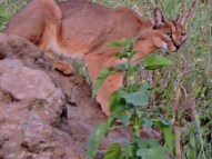 Our eagle-eyed driver spotted this handsome CARACAL too far away from a decent photo, but we had to try.