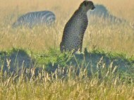 Too far away for a good photo, this CHEETAH was just a tiny upright blob – until enlarged by our zoom-lens.