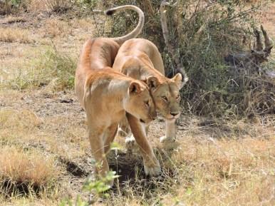 05-12 lions (1024x768)