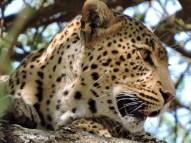 05-28 leopard (1024x768)