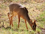 A tiny dik-dik, the smallest of all the antelopes, just 30-40cm at the shoulder.