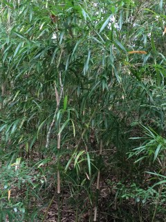 At one point I had to walk because it was too rough for both of us on the tractor, and I found this stand of bamboo.