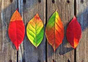 Four colorful fall leaves laying on wood.