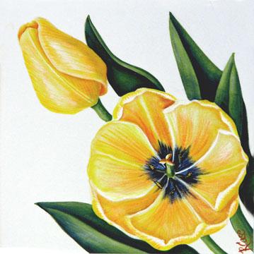 Yellow tulips on white background.