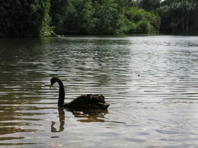 a swan! :3