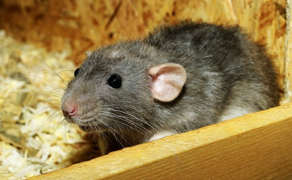 rat removal asheboro nc