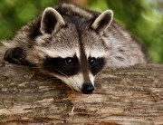 critter removal asheboro nc