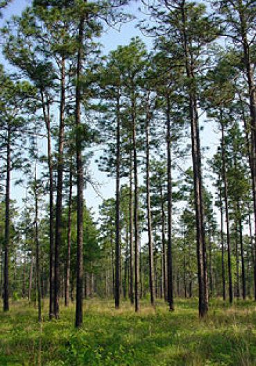 LongLeaf Pine Forest In Louisana