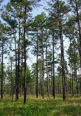LongLeaf Pine Forest In Louisana