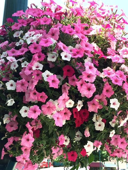 Overflowing petunias!
