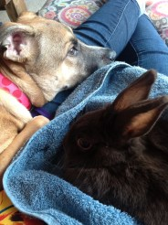 Dottie and our Havana Rabbit, Sandy snuggling on my lap. All of our animals get along quite well.