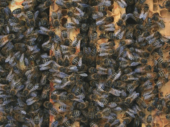 vente essaim abeille noire, abeille noire, vente essaim