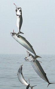 mitraillette pas chere poisson de mer