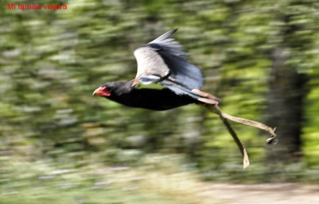 Exhibición vuelo aves rapaces