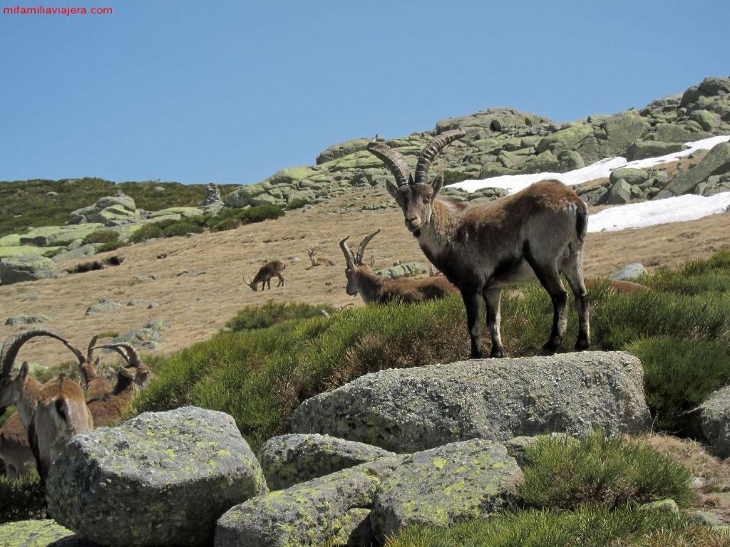 Cabras montesas de Gredos