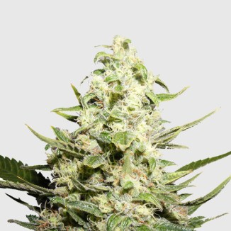 Top Strains of 2018 – The Coffee Joint