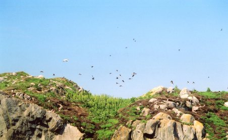 Nesting puffins about to rout a gull