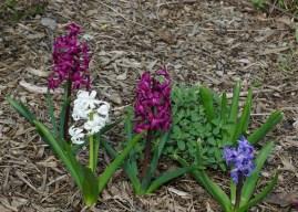 Park hyacinth