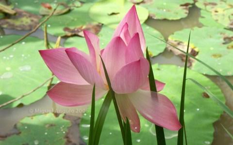 Lotus, Delta du Mékong (Vietnam sud)