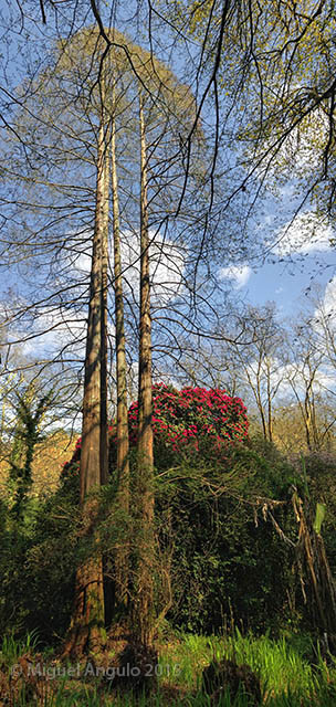 Metasequoia (Pépinières Maymou, Bayonne)