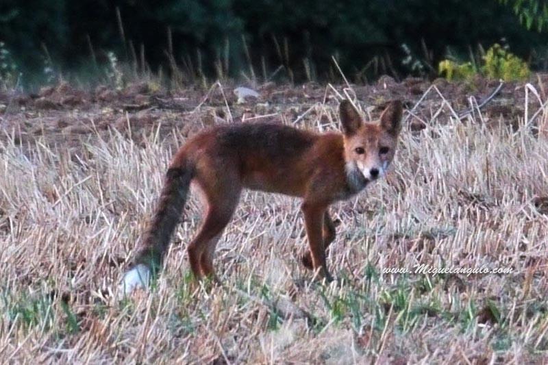 Un renard nous observe...