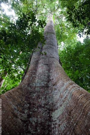 Árbol del bosque primario