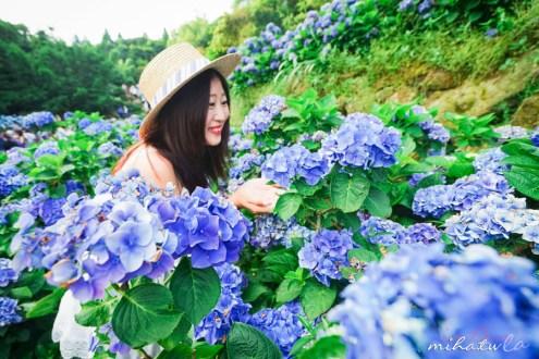 台北》陽明山水車寮高家繡球花 滿山谷的花海雖然人很多但還是好值得