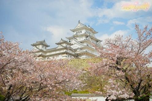 日本》姬路城賞櫻 日本三大名城之一保存度最完整的城堡 世界文化遺產之一