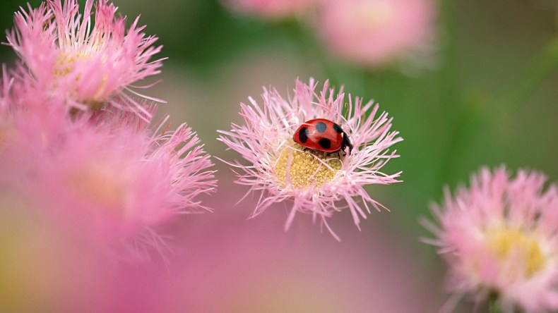 top-lady-bug-flower