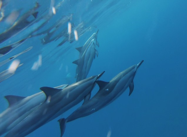 Spinner dolphins. Photograph by Kyle Greenberg