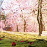京都「城南宮」しだれ梅と椿が圧巻!ピンクの世界に椿がインスタ映え!熊野にご縁あるパワースポット?