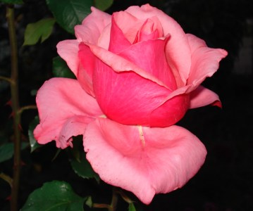How to Grow Pink Roses