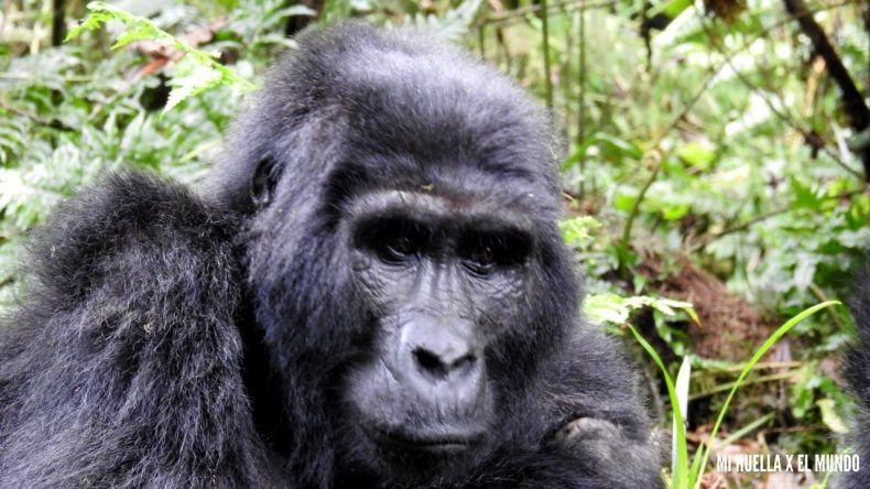 trekking gorilas (12)