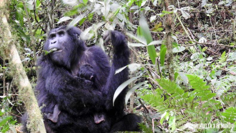 trekking gorilas (26)