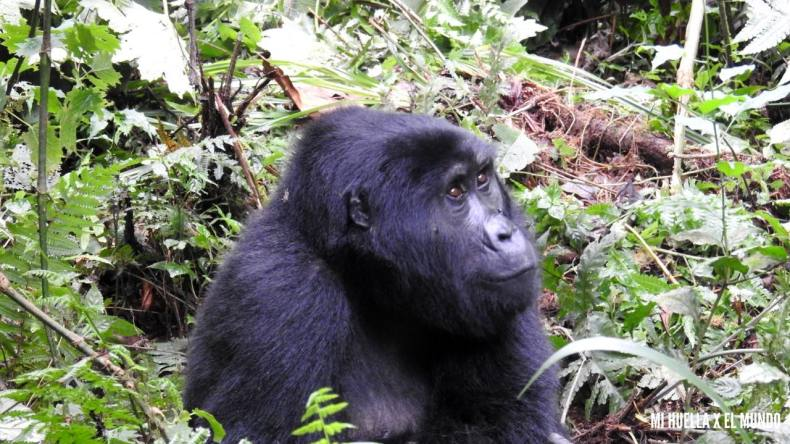 trekking gorilas (7)
