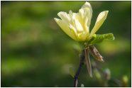 magnolia -2695