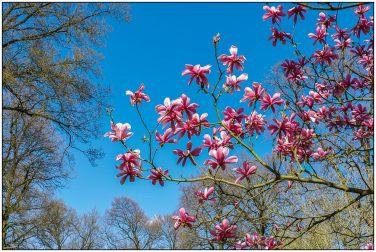 magnolia-2713