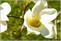 magnolia yellow fever-2613