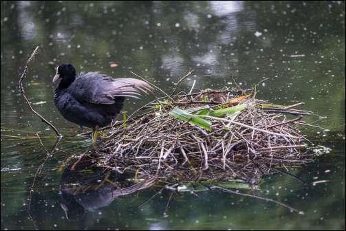meerkoet op nest - a coot